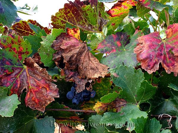 Autumn_Vineyard10_10.13.19_TWW