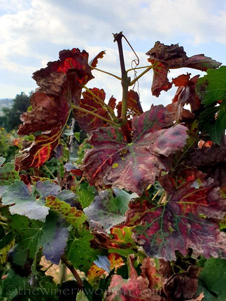 Autumn_Vineyard11_10.13.19_TWW