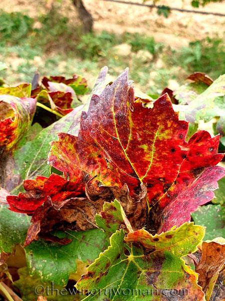 Autumn_Vineyard11_10.7.19_TWW