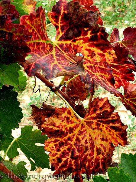 Autumn_Vineyard12_10.7.19_TWW