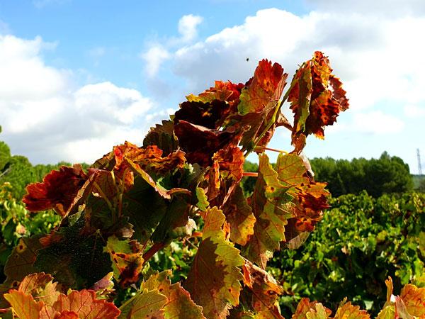 Autumn_Vineyard2_10.13.19_TWW