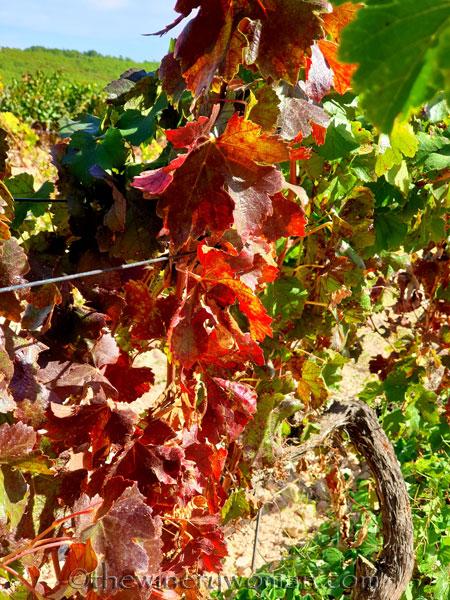 Autumn_Vineyard2_10.7.19_TWW