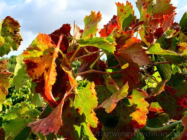 Autumn_Vineyard4_10.13.19_TWW