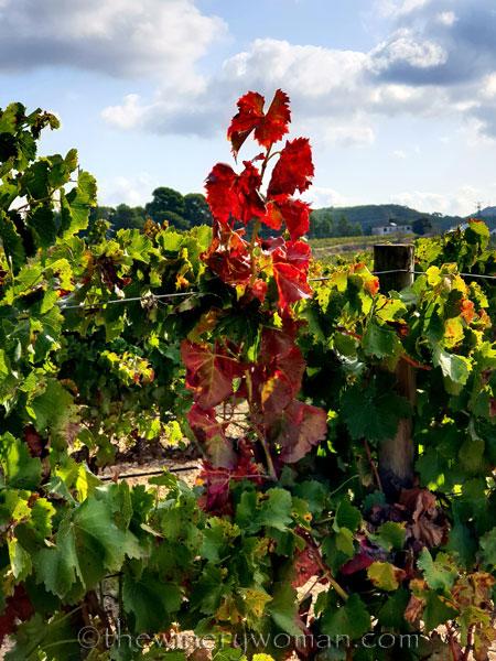 Autumn_Vineyard5_10.13.19_TWW