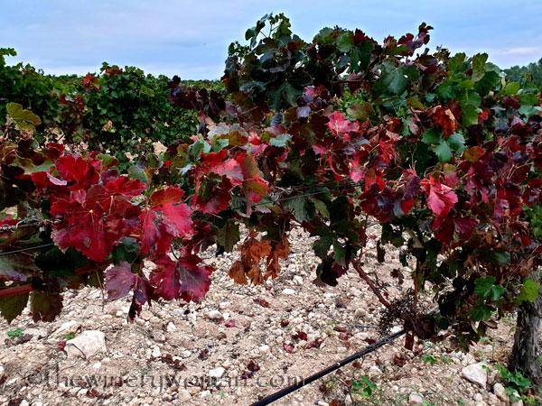 Autumn_Vineyard7_10.7.19_TWW