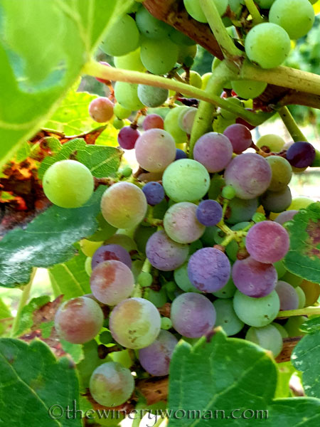 Unpicked_Grapes12_10.14.19_TWW