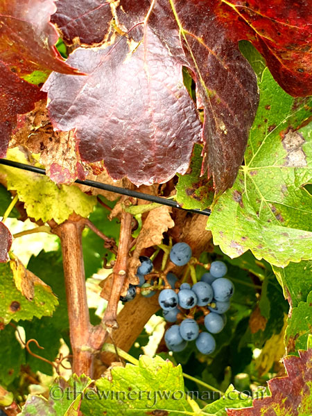 Unpicked_Grapes13_10.14.19_TWW