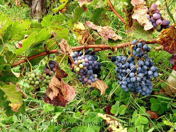 Unpicked_Grapes14_10.14.19_TWW