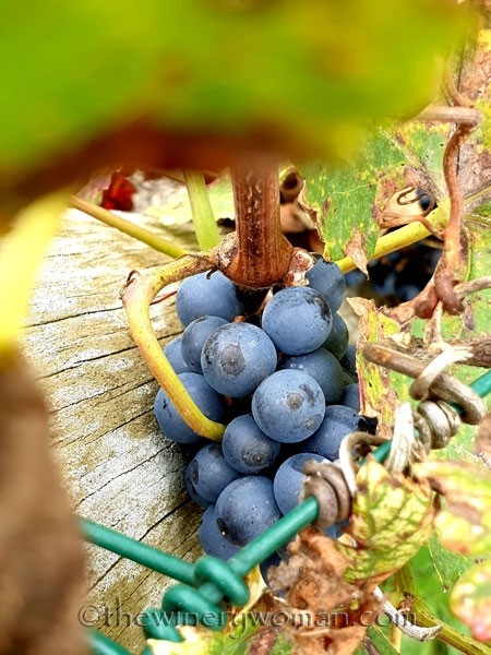 Unpicked_Grapes18_10.14.19_TWW