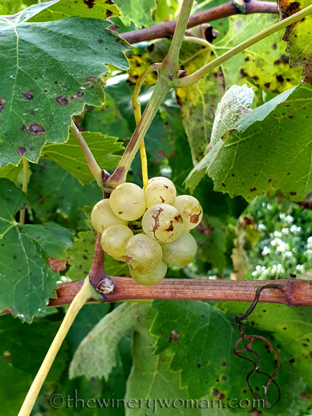 Unpicked_Grapes4_10.14.19_TWW