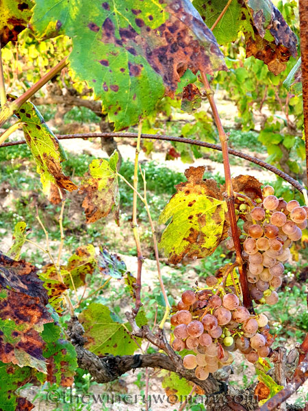 Unpicked_Grapes6_10.14.19_TWW