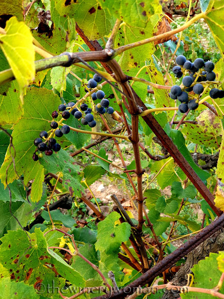 Unpicked_Grapes7_10.14.19_TWW