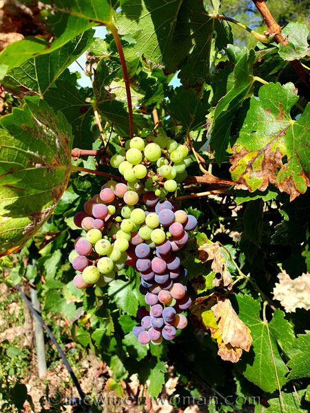 Unpicked_Grapes9_10.14.19_TWW