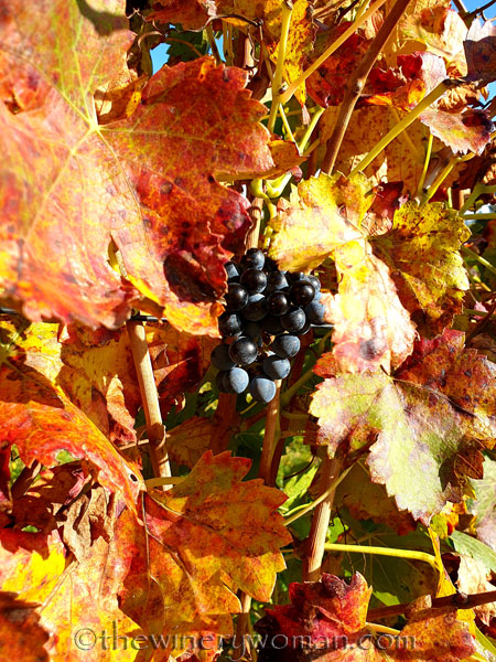 Autumn_Vineyard2_11.10.19_TWW
