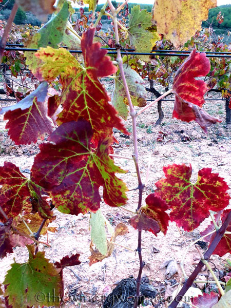 Autumn_Vineyard2_11.11.19_TWW