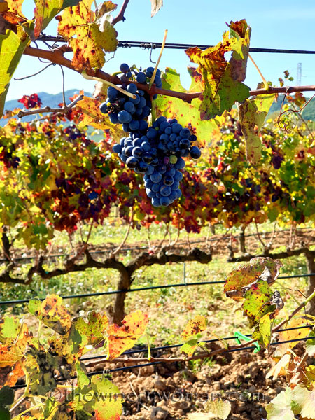 Autumn_Vineyard3_11.10.19_TWW
