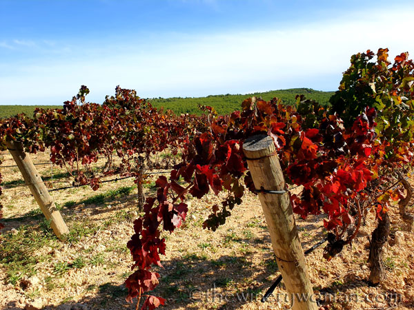 Autumn_Vineyard4_11.10.19_TWW
