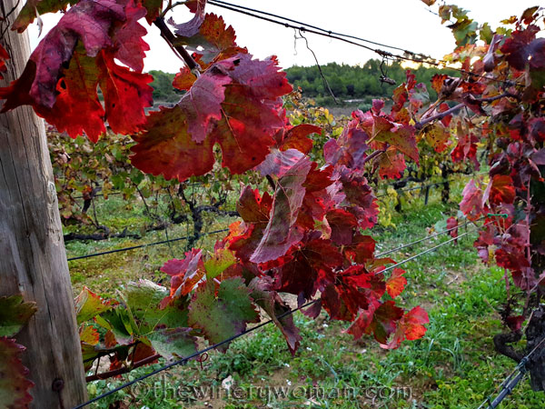 Autumn_Vineyard5_11.11.19_TWW