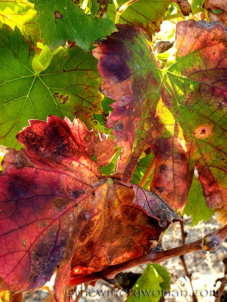 Autumn_Vineyard9_11.10.19_TWW