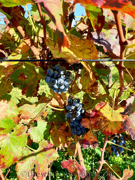 Autumn_Vineyard_11.10.19_TWW