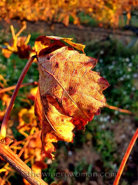 Vineyard7_11.25.19.TWW