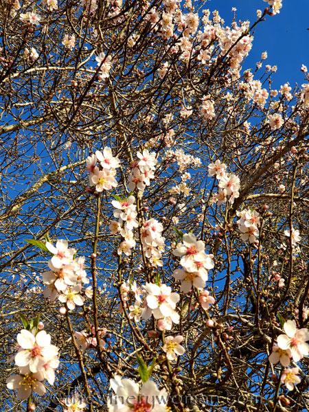 Almond_Blossoms18_01.09.2020_TWW