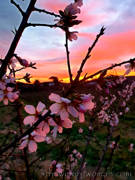 Almond_Blossoms2_1.30.2020_TWW