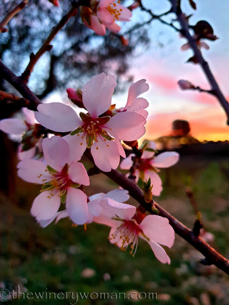 Almond_Blossoms4_1.30.2020_TWW