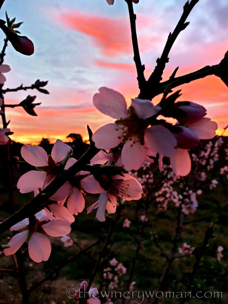 Almond_Blossoms5_1.30.2020_TWW