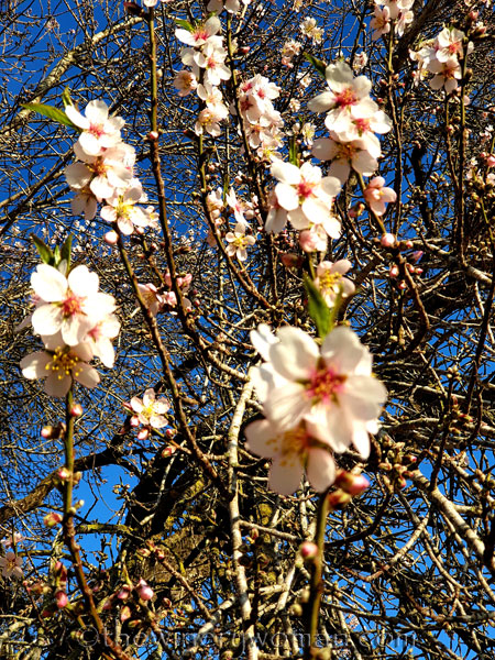 Almond_Blossoms9_01.09.2020_TWW