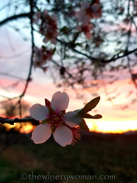 Almond_Blossoms_1.30.2020_TWW