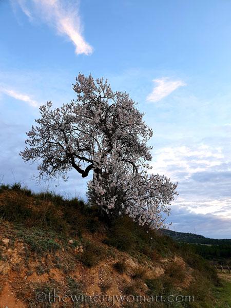 Almond_Blossoms_1.31.2020_TWW