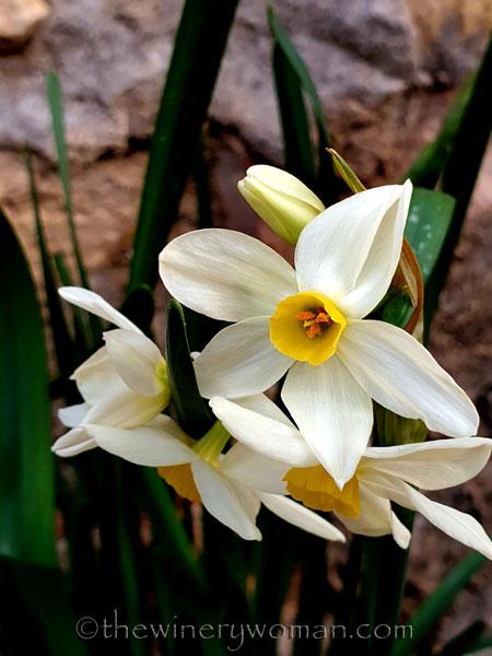 Daffodils2_1.31.2020_TWW