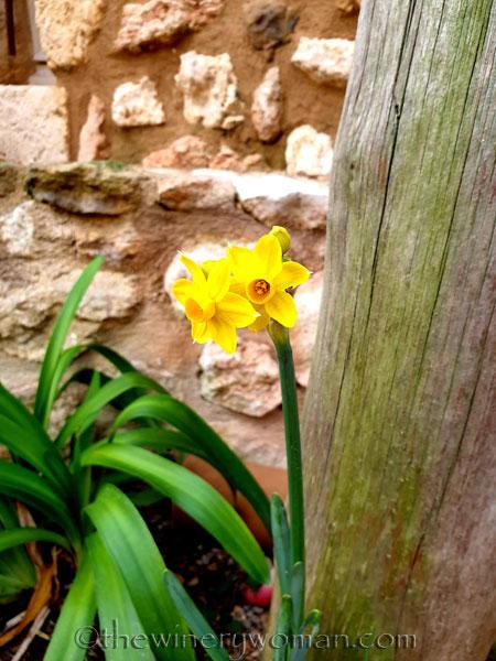 Daffodils3_1.31.2020_TWW