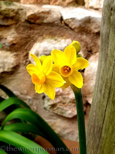 Daffodils4_1.31.2020_TWW
