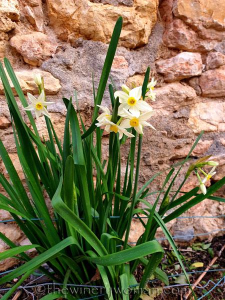 Daffodils_1.31.2020_TWW