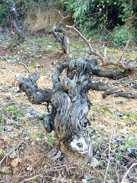 Old_Vines_Vineyard11_1.4.2020_TWW