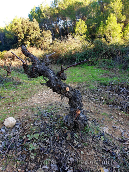 Old_Vines_Vineyard12_1.4.2020_TWW