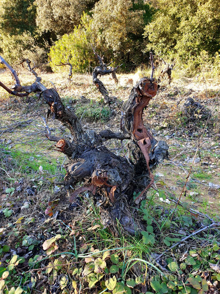 Old_Vines_Vineyard14_1.4.2020_TWW
