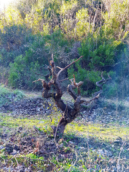 Old_Vines_Vineyard3_1.4.2020_TWW