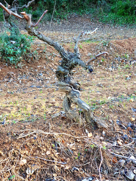 Old_Vines_Vineyard4_1.4.2020_TWW