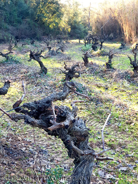 Old_Vines_Vineyard6_1.4.2020_TWW