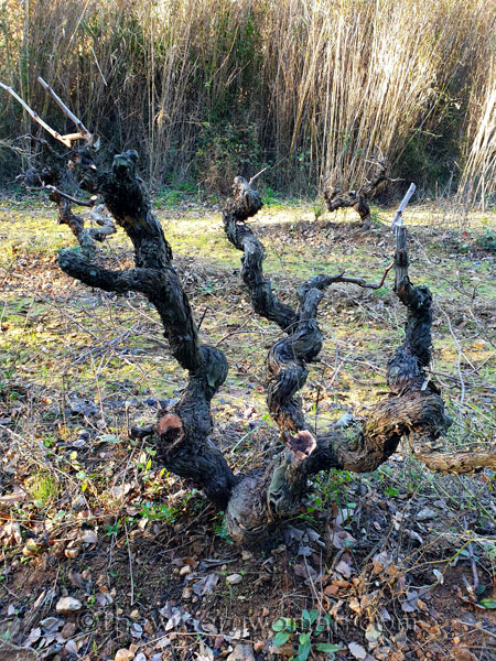 Old_Vines_Vineyard7_1.4