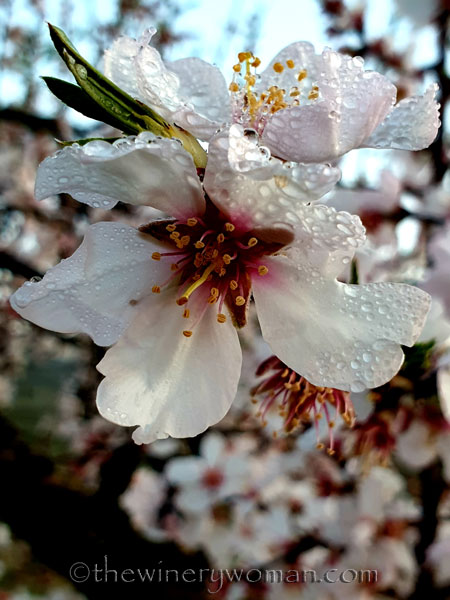Dewdrops_Almond_Blossoms2_2.13.2020_TWW
