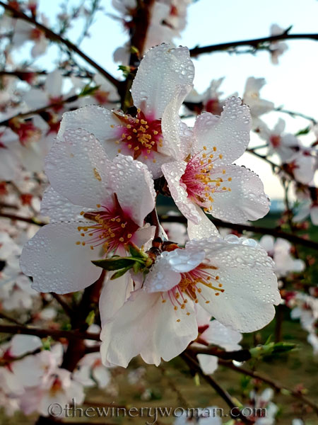 Dewdrops_Almond_Blossoms_2.13.2020_TWW