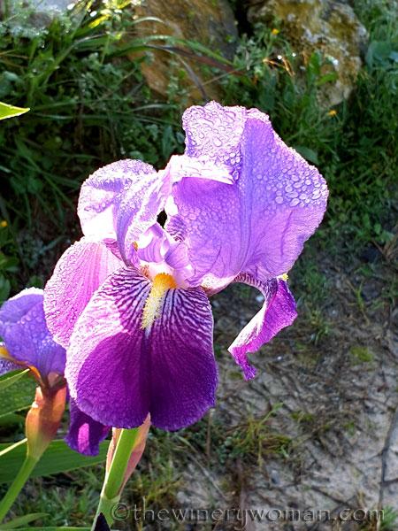 Dewdrops_Irises_2.13.2020_TWW