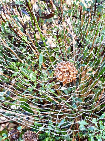 Dewdrops_Spider_web3_2.13.2020_TWW