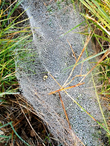Dewdrops_Spider_web5_2.13.2020_TWW