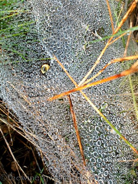 Dewdrops_Spider_web6_2.13.2020_TWW