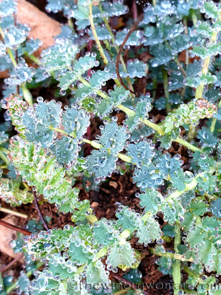 Dewdrops_Unknown_Plant_2.13.2020_TWW